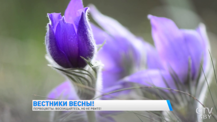 Почему нельзя срывать первоцветы и как за это могут наказать?